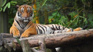 Maláj tigris (tigris)