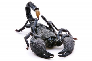 Skorpió (skorpió, )