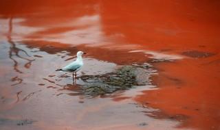 Vörössé vált tenger (vörös alga, )