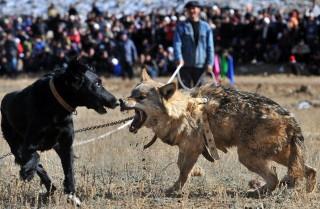 kutyaviadal (kutyaviadal, harci kutya, )