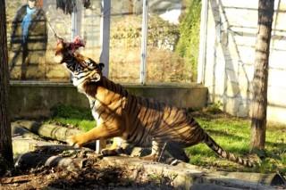maláj tigirs (maláj tigris, )