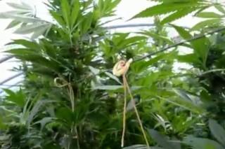 marihuána-ültetvény (kenderültetvény, )