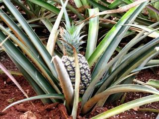ananász (ananász, gyümölcs)