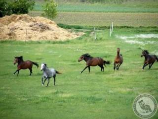 elkobzott lovak (elkobzott lovak)