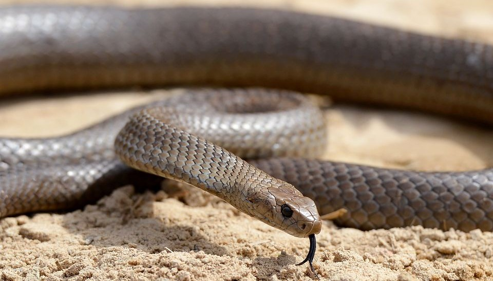 textilmintás barnakígyó (textilmintás barnakígyó,)