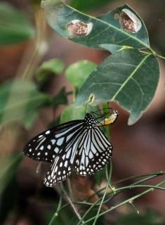Sri Lanka lepke (sri lanka, lepke, )