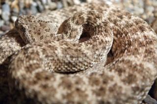 csörgőkígyó (csörgőkígyó, )