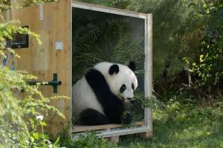 fu hu panda (panda, bécsi állatkert)