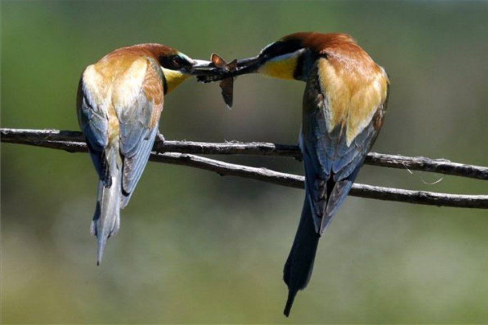 gyurgyalag-pár (ingyenes, )