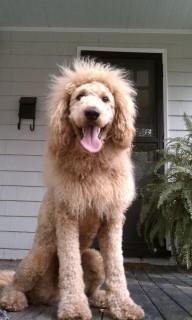 oroszlán kutya (kutya, oroszlán, )