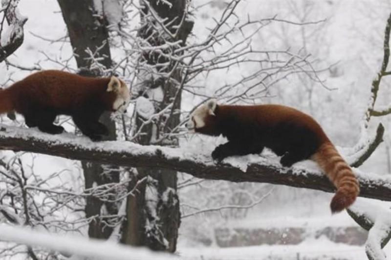 vörös macskamedve (kis panda, )