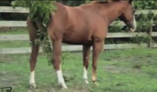 A ló és a birka párharca (paci, birka, bari, juh, állat, vakar, viszket, fácska, kerítés, evolúció, törzsfejlődés, tárgy, eszköz, eszközhasználat, harc, vetélkedő, csata, verseny, anyád ha látná, )
