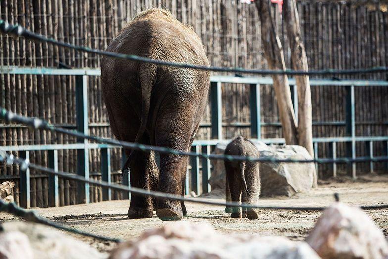 elefánt (elefánt, )