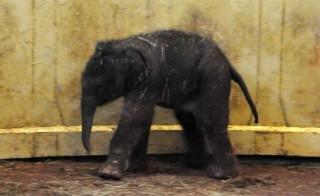 Kiselefant(210x140)(2).jpg (elefántbébi, )