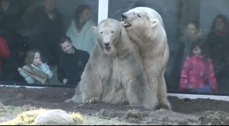 Tavaszi jegesmedvék (jegesmedve, állatkert, párzás, )