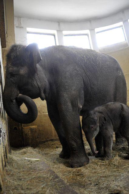 elefántbébi az anyjával (elefánt, elefántbébi, )