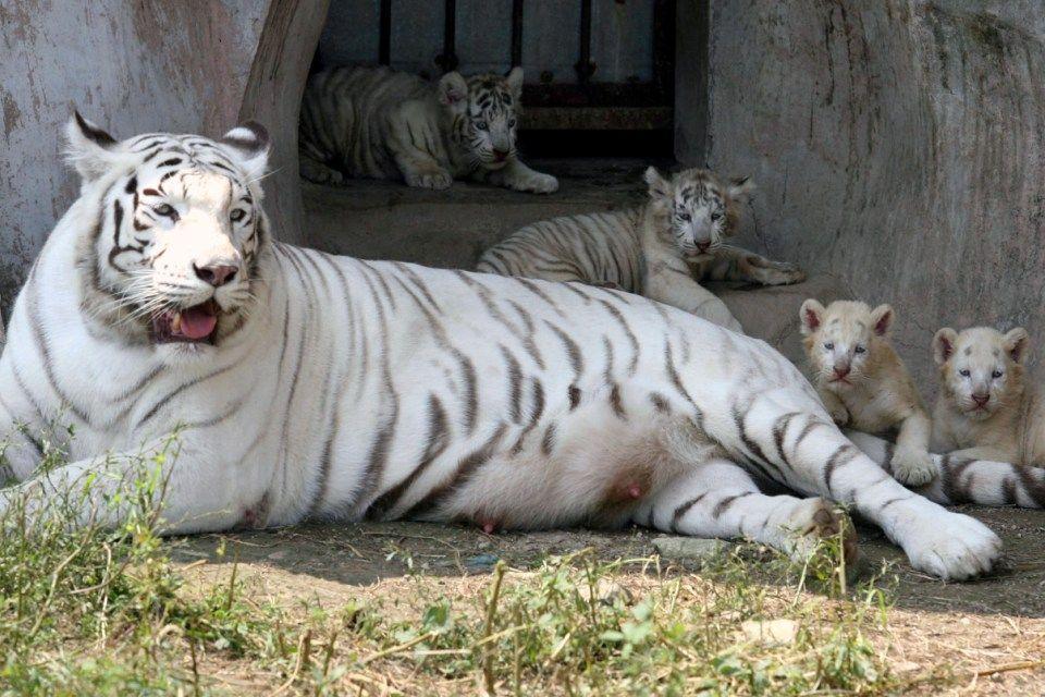 fehér tigrisek (fehér tigris, tigriskölyök, )