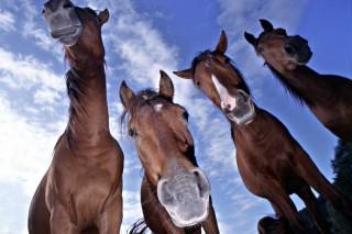 lovak (ló)