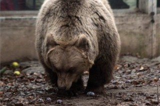 medve (medveárnyék-észlelés az állatkertben)