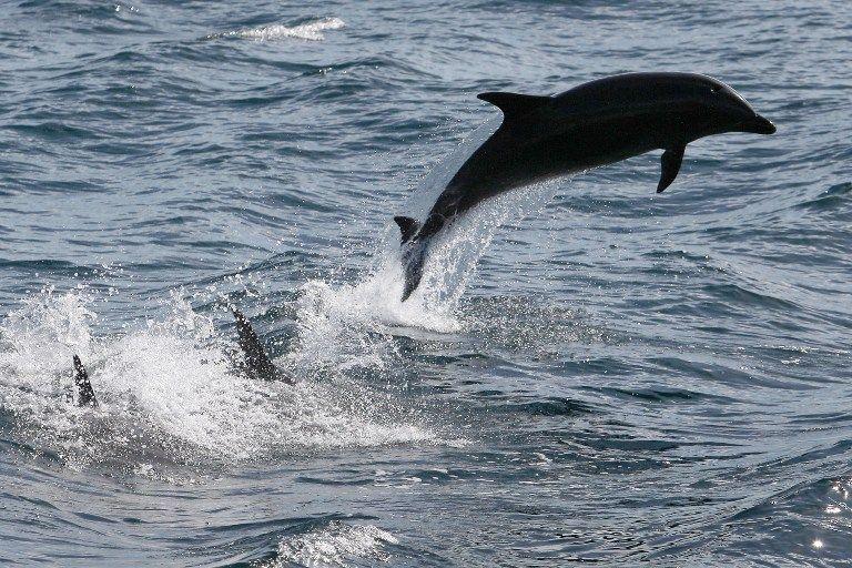 Delfin (delfin, tenger, )