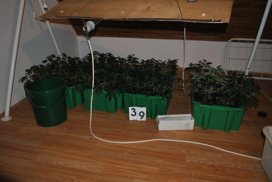 cannabis(430x286)(1).jpg (cannabis)