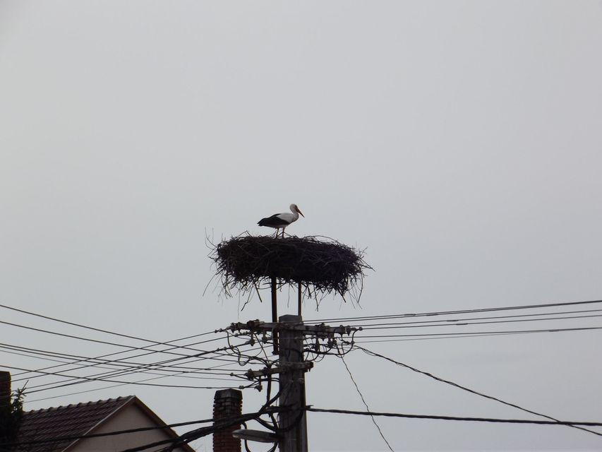 gólya (gólya)