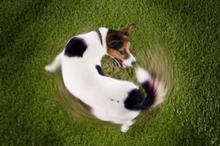 kutyafarok (kutyafarka)