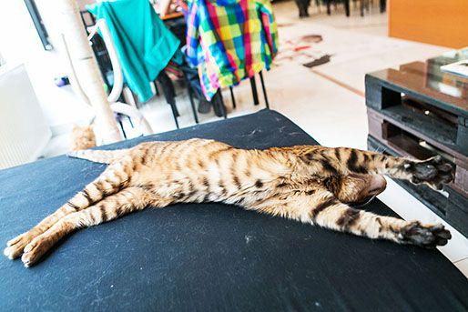macskakávézó (macskakávézó, macska)