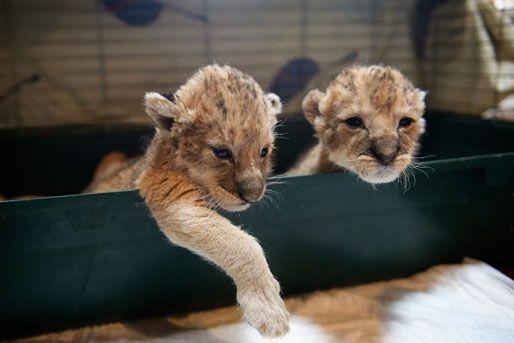 oroszlán kölykök (oroszlán kölykök)