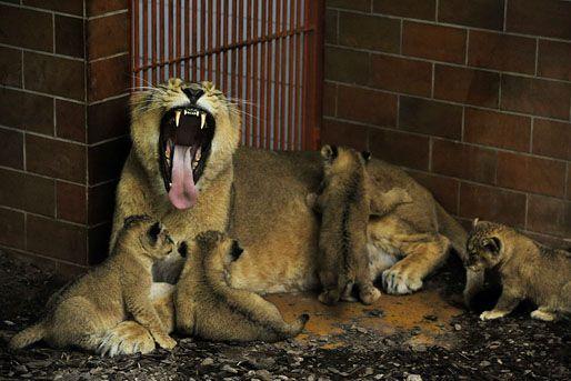oroszlán kölykök (oroszlán kölykök, )