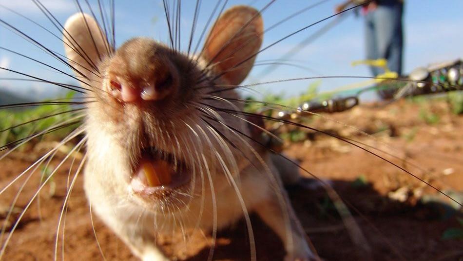 patkány (patkány, )