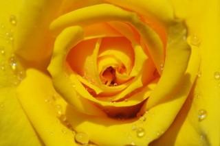 sárga rózsa (rózsa, )