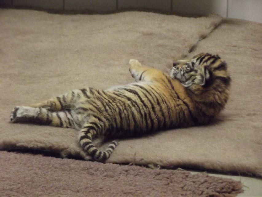 tigriskölyök (tigriskölyök, )