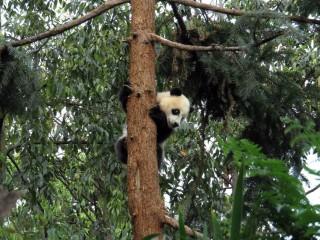 A Panda fel van mászva a fára (panda, fa, földrengés, kína, )