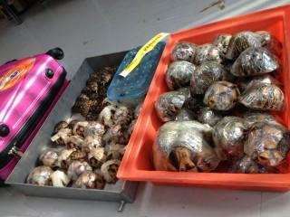 Csempészett ekevas teknősök (ekevas teknős, angonoka teknős, teknős, )
