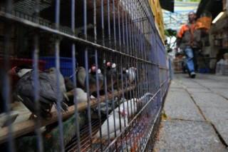 Hongkong madárinfluenza (hongkong, madárinfluenza, )