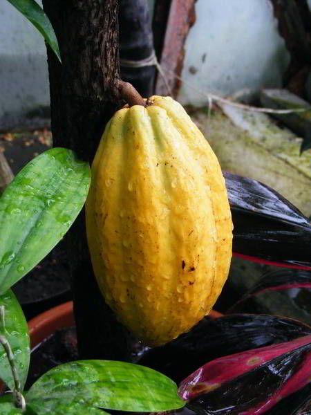 Kakaófa termése (Kakaófa termése)