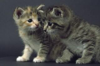 cicák (cica)