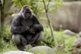 gorilla (gorilla, )