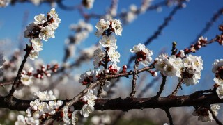 kajszibarackfa virágzás (kajszibarackfa virágzás)