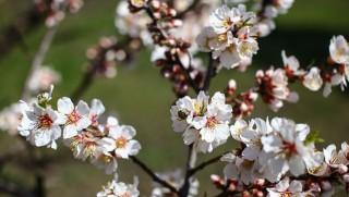 mandulafa virágzás (mandulafa virágzás)