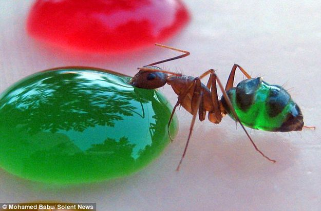 színes hangya (hangya)