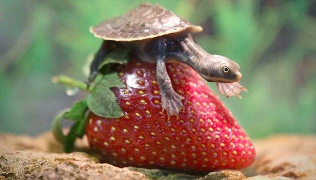 teknős (teknős, napi cuki, )