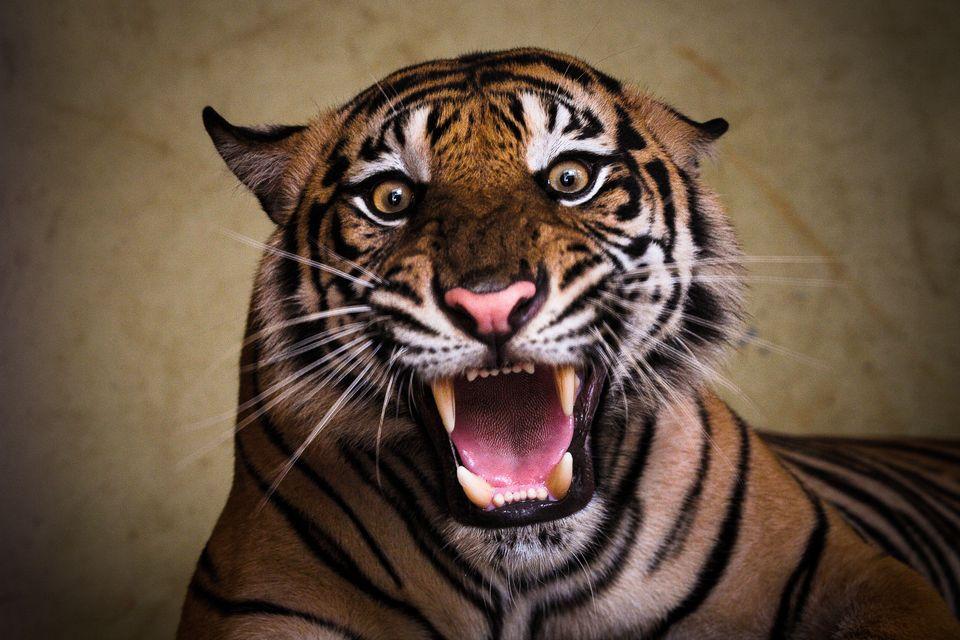 tigris(210x140)(2).jpg (tigris, )