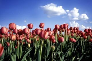 tulipán, tavasz (tulipán, )