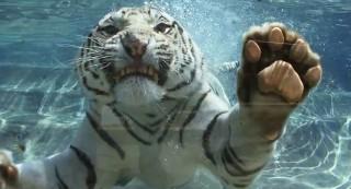 Fehér tigris (fehér tigris, )