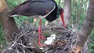 Fekete gólyák Gemencen (Fekete gólyák Gemencen)