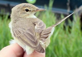 Kis geze (madár, kis geze, )