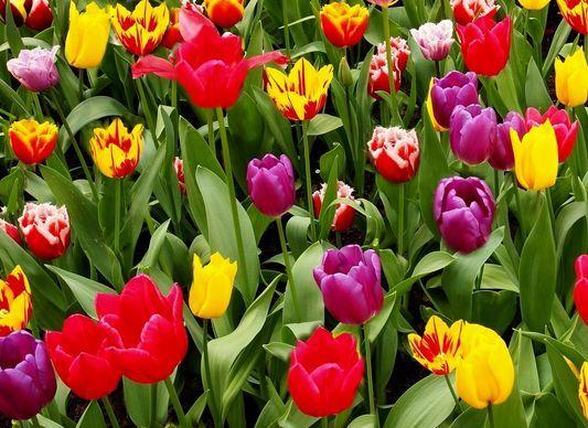Tulipánok (Tulipánok)