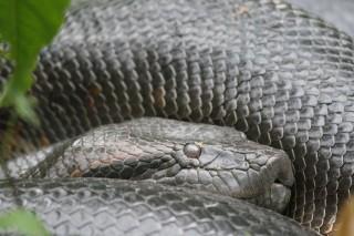 kígyó (kígyó)